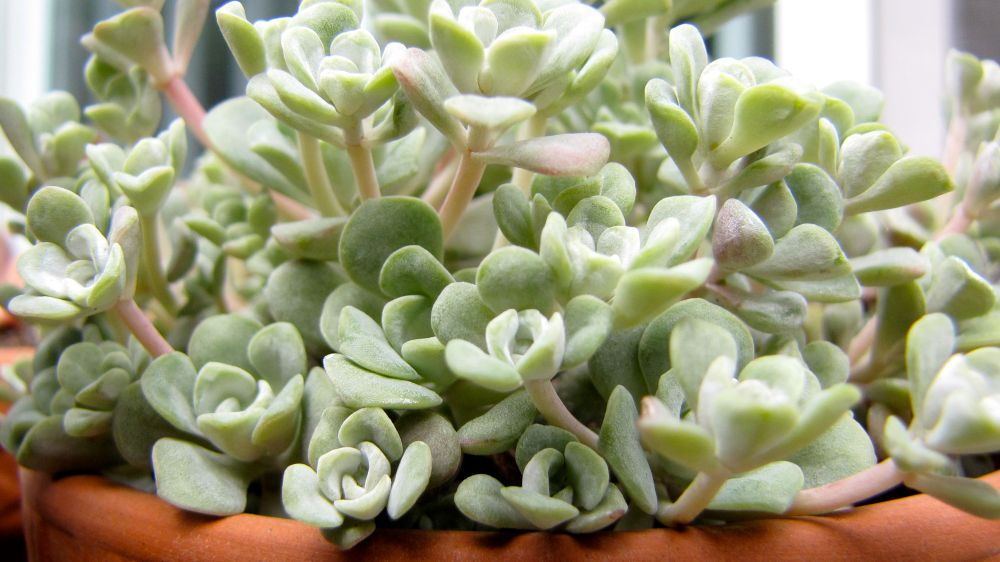 succulenttwo