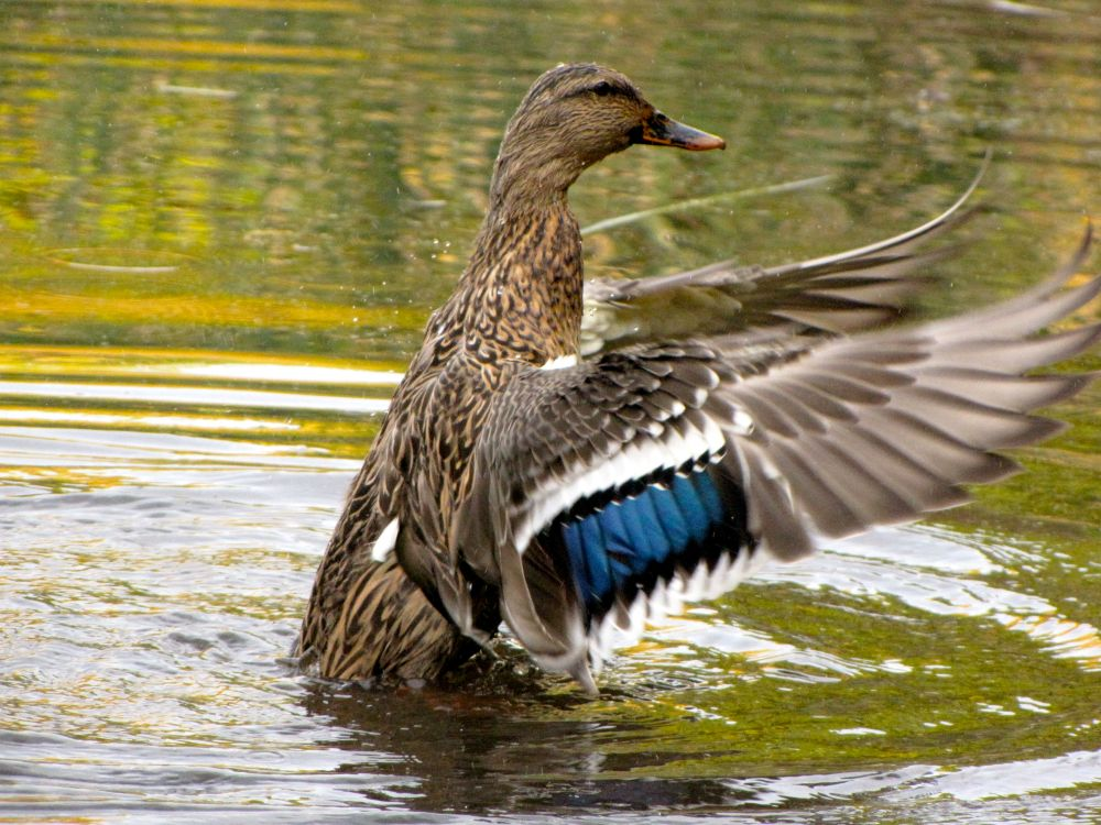 duckshake